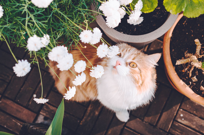 Cute and funny ginger cat sniffing blooming flowers on a sunny summer day.