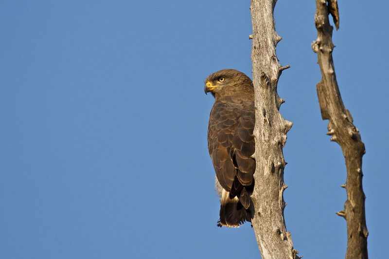 Low Angle View Of Brown Snake Eagle Perching On Bare Tree Trunk Against Clear Blue Sky
