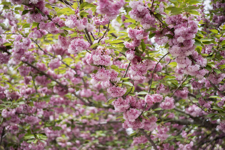 Abundance Beauty In Nature Cherry Blossoms Flowers Focus On Foreground Freshness Green Growth In Bloom Looking Nature Petal Pink Selective Focus Shallow Depth Of Field Tree White