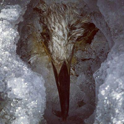 Птица вмерзла в лёд финскийзалив