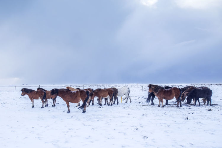 Horses standing on snow covered landscape