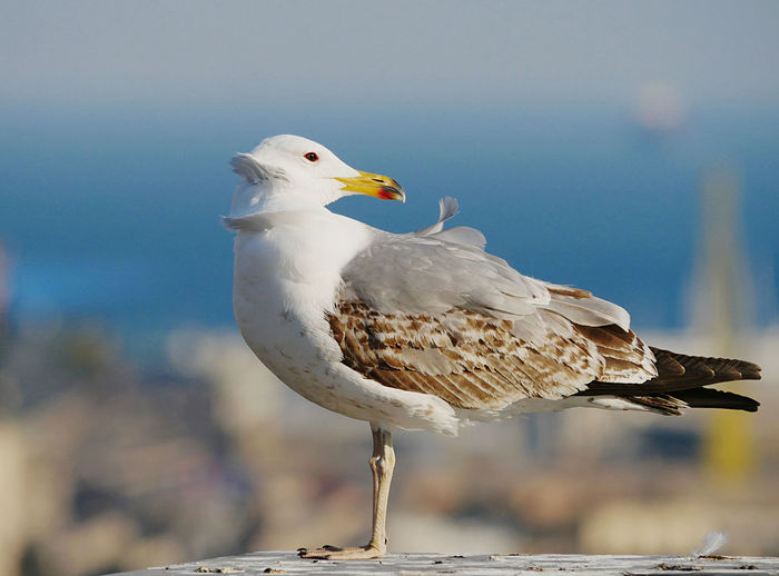 A young seagull waiting for the perfect wind to fly.