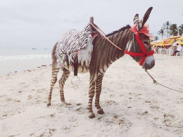 Brazil Cumbuco Zebra Donkey