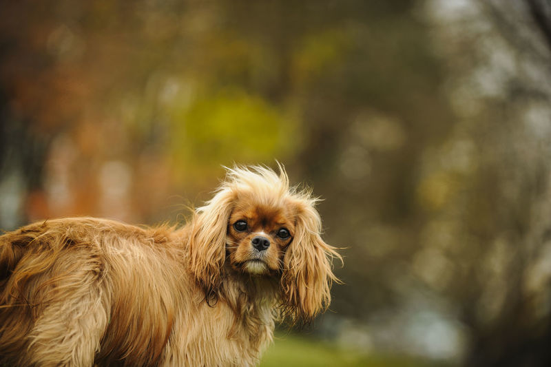 Close-up of cavalier king charles spaniel standing on field