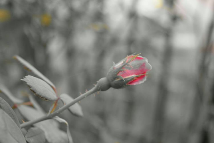 North Carolina Nature Rosebud Roses Blackandwhite Flowers Ncnature Pink Rose .
