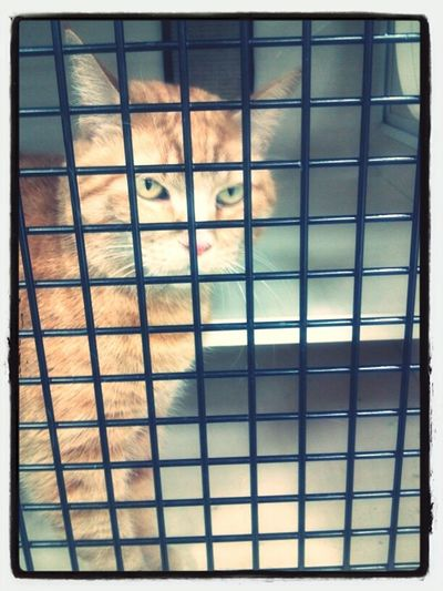 Adorable sweet cheese kitty named Alice. She is such a love and just kept rubbing up against my fingers and the cage door asking for pets. Someone just adopted her. Yay for Alice!