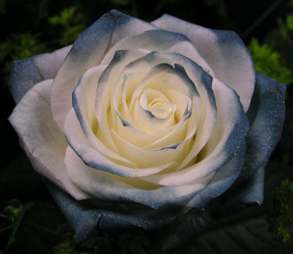 薔薇 Flower Flowerporn Beautiful Flower Flowers Cute♡