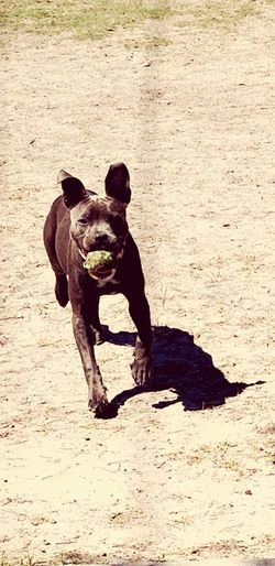 JujuBeans and her ball Puppypark DogParkDay Dogpark Playing Running Tennis Ball Puppy Love Puppies Of Eyeem Puppies Dog Love Toys Pitbull Playingdogs Play Fun Dogs Of EyeEm Shadows Puppylife Puppyplaytime Park Ball Pets Dog Portrait Animal Themes Pit Bull Terrier Puppy Canine Purebred Dog Terrier