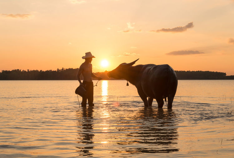 Silhouette man cleaning cow standing in lake against sky at sunset