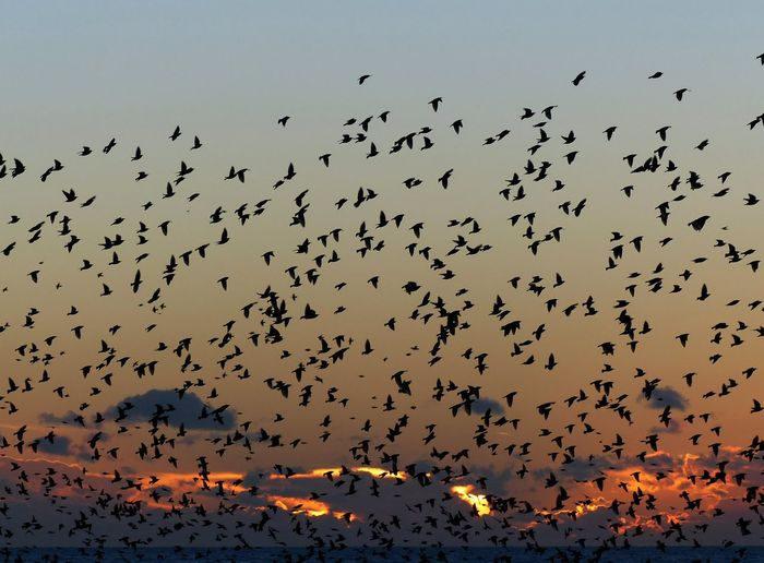 Flock Of Silhouette Birds Flying Against Sky During Sunset
