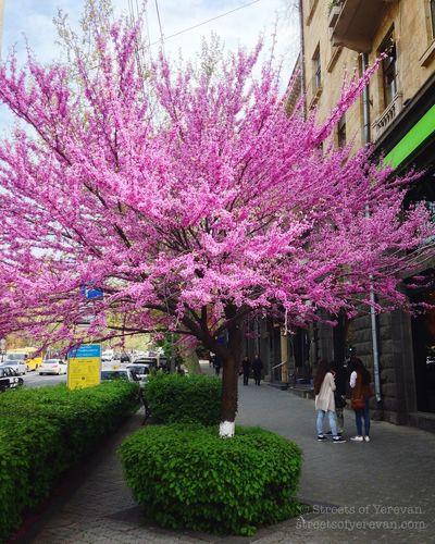 Candy sweet blossom in Yerevan. Spring Yerevan Armenia StreetsofYerevan Blooming Spring2016 Spring Into Spring Blossom Springtime