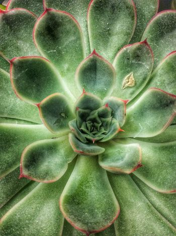 Succulent Green Color Growth No People Plant Day Nature Close-up Freshness Outdoors Beauty In Nature Succulents Succulent Plants Succulent Closeup Backgrounds Editorial  Editorial Photography Garden Photography Horticulture