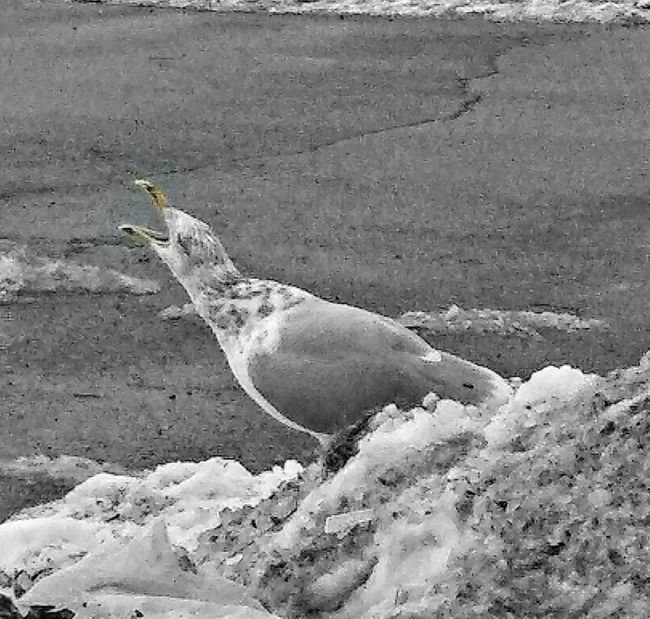 HIIIIIIII!!!!!!! ~ In Portland Maine USA Making Noise Winter Snow Nature Lover My Point Of View Seagull Happy Moment Fun Enjoying Life Loving The Landscape Loving Animals Animal Themes One Animal High Angle View Outdoors Day Nature No People