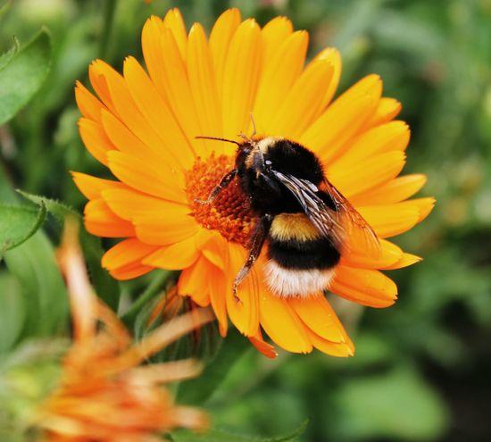 Bumblebee Eyeem4photography Macro_flower Eye4nature
