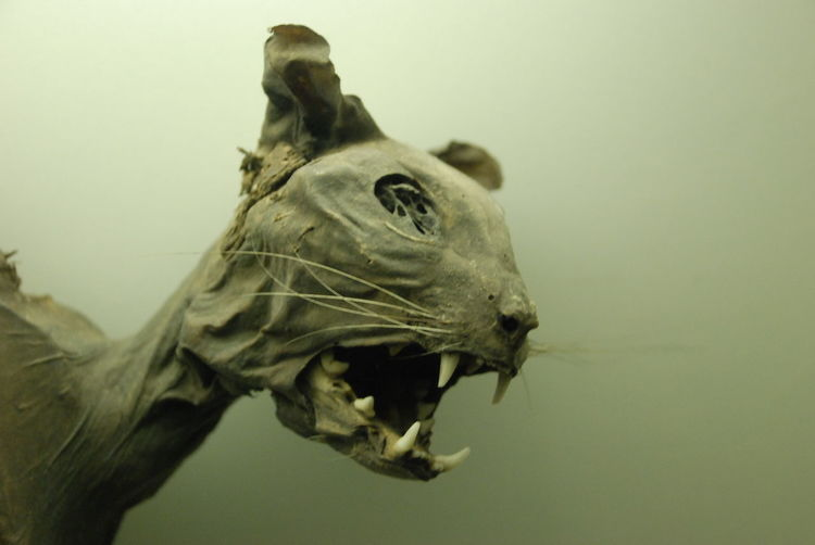 Close-up of cat taxidermy in museum