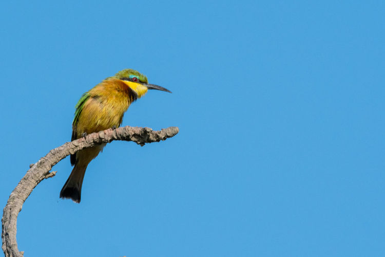 Little bee-eater Durban South Africa EyeEm Birds EyeEm Nature Lover Animal Wildlife Animals In The Wild Bee-eater Bird Blue Branch Little Bee-eater Nature No People One Animal Outdoors Perching Profile View Tree Yellow