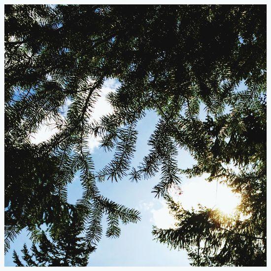 Soft 4 Sun poking through the Trees April 3 2017 Tree Branch Clear Sky Backgrounds Sky Animal Themes The Still Life Photographer - 2018 EyeEm Awards EyeEmNewHere
