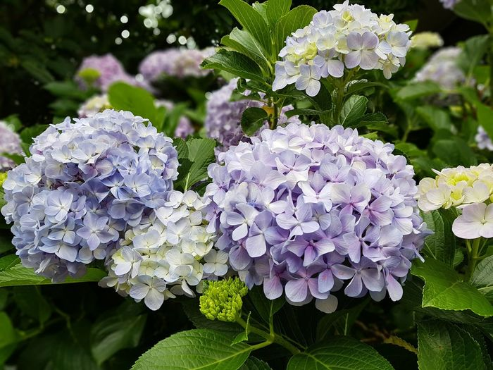 blue and purple hydrangea also known as hortensia Plant Hydrangea Hortensia Flower Hortensia Flower Flower Head Beauty In Nature No People Flower Head Flowering Plant In Bloom Blossom Plant Life Botany Blooming Petal
