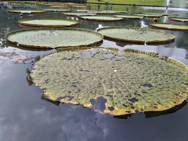 Nature No People Day Outdoors Lotus Lotus♥ The Giant Lotus Water Lake