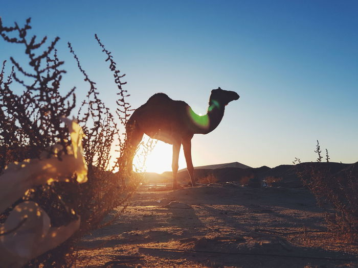 Kuwait Sunset Sunlight Silhouette One Animal Sky Outdoors Domestic Animals Galaxy S8+ Day Mammal Animal Themes Yoonjeongvin Kuwait Travel Destinations Kuwaitstreetphotography Desert Nature No People Camel Shadow Sunlight