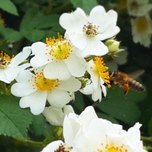 Bursa Ilkbahar Beyazçiçekler Balarısı Polen