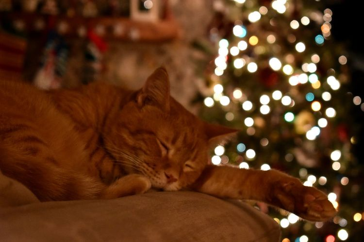 Close-up of ginger cat lying down on illuminated christmas lights