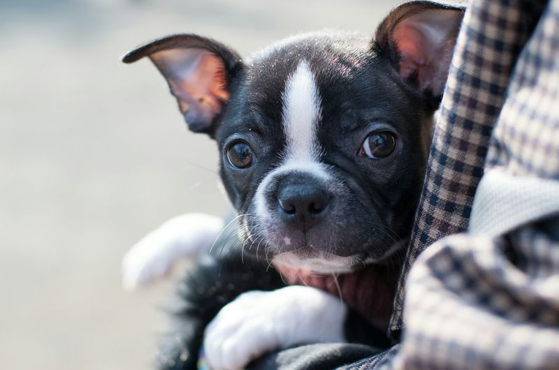 Taking Photos Cheese! EyeEm Best Shots Boston Terrier Photography Bokeh Dogs Of EyeEm I Love My Dog Dogslife EyeEm Gallery