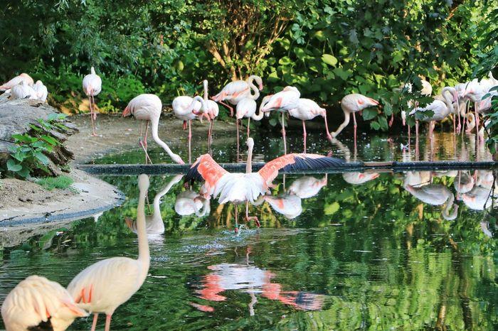 pink flamingos Pink Pink Birds Pink Flamingos Flamingos In Lake Flamingo Bird Water Perching Lake Beak Ibis Colony Freshwater Bird Swimming Animal Tropical Bird