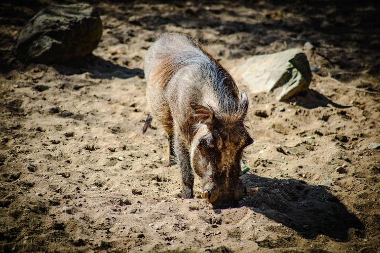 Close-up of wild pig