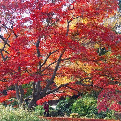Hamarikiu Garden Fall Autumn Beauty In Nature Tree 紅葉 もみじ 日本 Japan