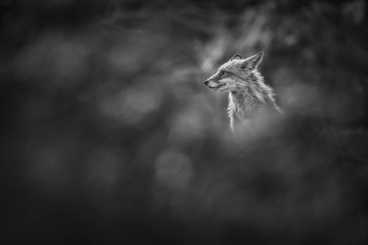 Wild fox with blurry foreground in black and white photography.