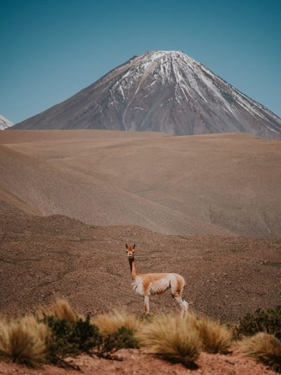 A vicuña in Atacama Chile Mountain Land Scenics - Nature Landscape Environment Nature Beauty In Nature Mountain Range Non-urban Scene Animal Themes Domestic Animals Desert Mammal Travel Destinations Animal Sky Animal Wildlife No People Volcano Llama