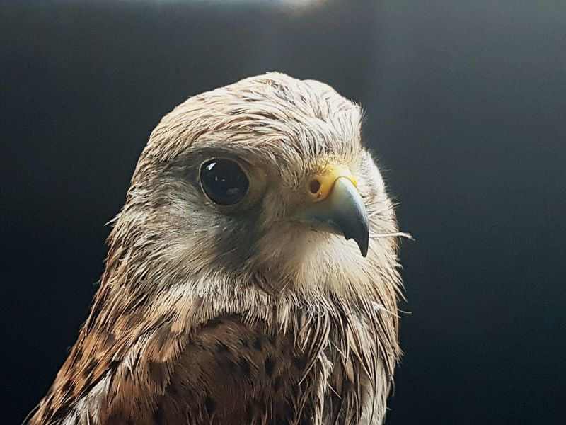 Gheppio Kestrel Kestrel Falcon Bird No People Animal Eye Animal Animals Close-up Close Up Closeup Nature Nature_collection Naturelovers Wild Animal Rapacious Rapaces Rapace  Rapaci Black Background Gray Background One Animal Bird Of Prey Animal Wildlife Animal Themes