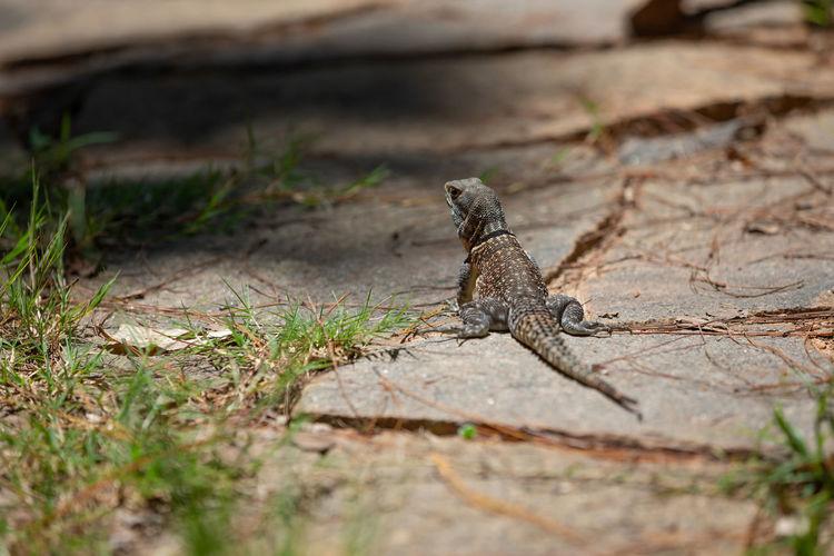 Lizard on land