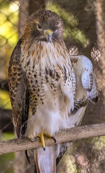 Red Shouldered Hawk Animal Themes Animal Bird Animals In The Wild Animal Wildlife Vertebrate Bird Of Prey