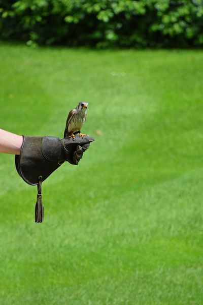 Educated tame bird hawk Animals In The Wild Bird Birds_collection Day Educate Educated Gauntlet Grass Green Hawk Human Body Part Human Hand Learned Leisure Activity Lifestyles Men Nature One Animal One Person Outdoors Tame Trained Trained Animals
