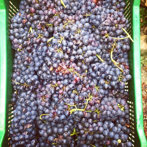 Fresh picked grapes in container Above Agriculture Bunch Container Food And Drink Fresh Fruit Fruits Grape Grapes Large Group Of Objects Merlot Organic Organic Food Ripe Ripe Fruit Top View