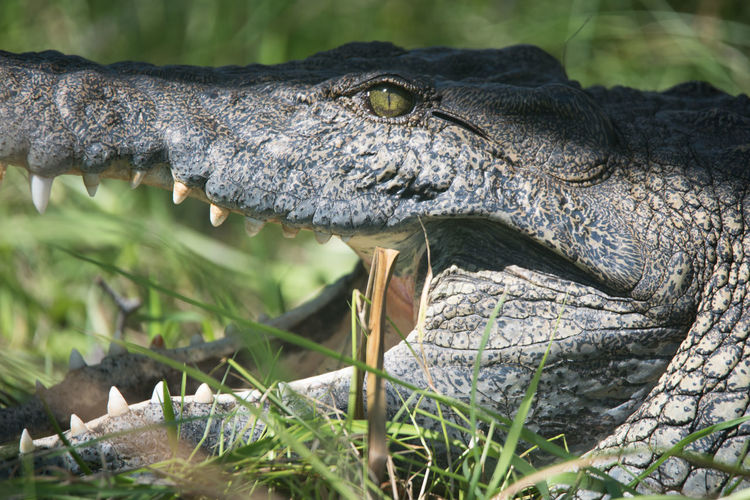 Close-up side view of crocodile