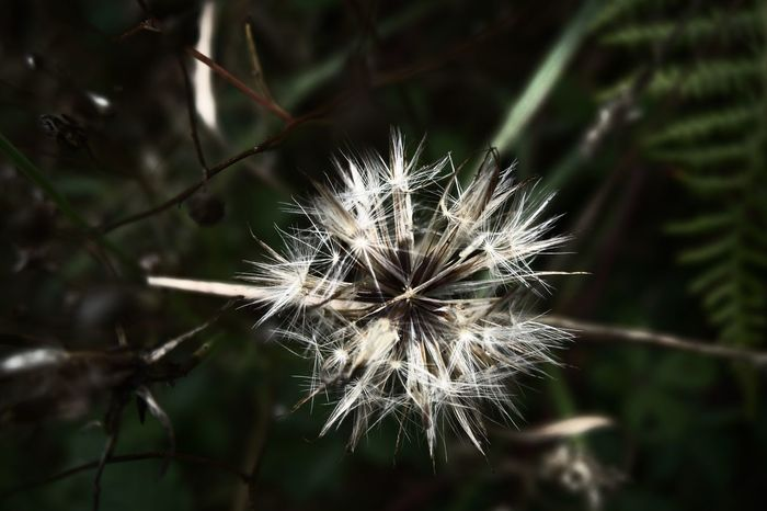 Dark Darkness Diente De León Beauty In Nature Close-up Dandelion Darkandlight Darkness And Light Day Flor Flower Flower Head Focus On Foreground Fragility Freshness Growth Nature No People Noche Oscuridad Outdoors Plant White