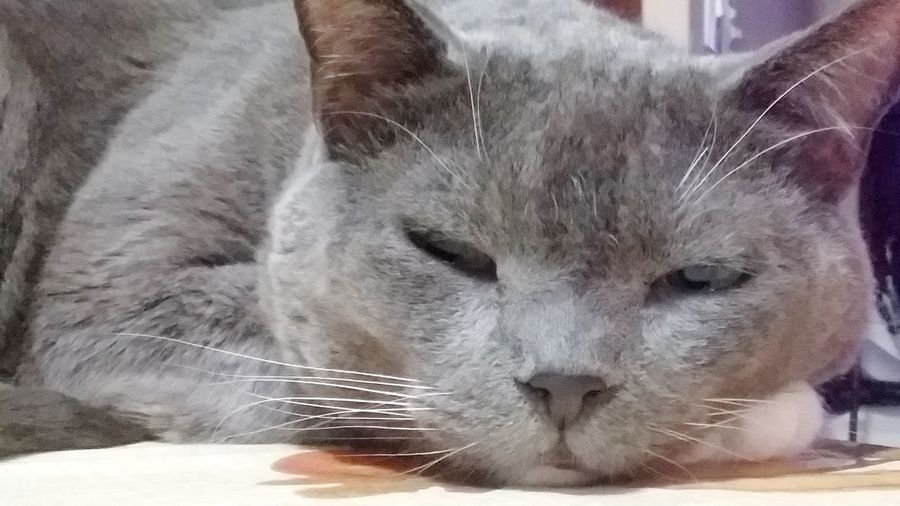 Close-up of a cat with eyes closed