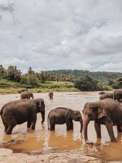 Pinnawala, Sri Lanka ASIA Sri Lanka Pinnawala Elephant Orphanage Elephants Group Of Animals Animal Themes Water Cloud - Sky Animal Animals In The Wild Sky Nature Animal Wildlife Mammal Outdoors Herd