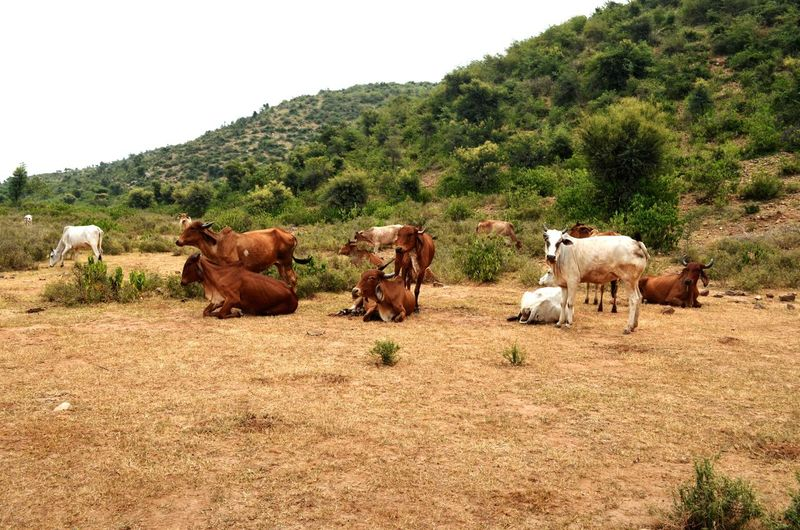 Cows In Grassland Animal Themes Domestic Animals Livestock Cattle Relaxing Farmland No People Rural Scene EyeEmNewHere