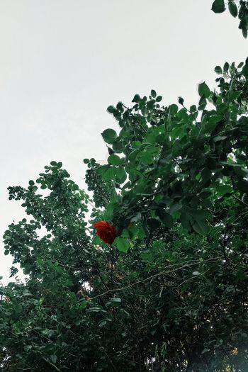 Fruit Growth Tree Red Nature Green Color Healthy Eating Freshness No People Food And Drink Outdoors Day Beauty In Nature Food Low Angle View Leaf Citrus Fruit Branch Sky Close-up