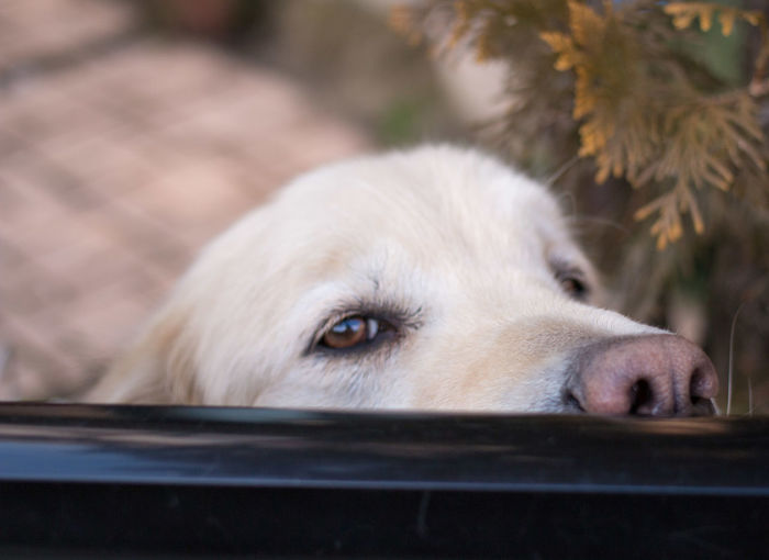Dog Peering Through Window