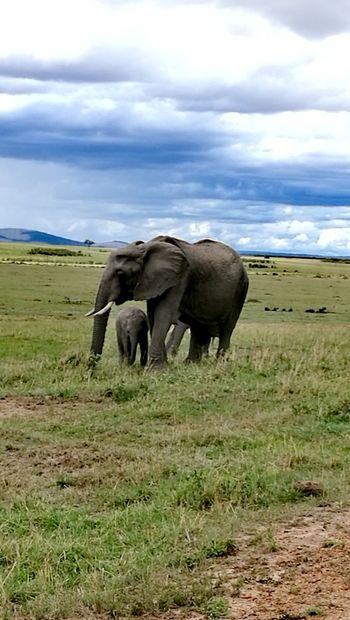 Elephant Animal Wildlife Animals In The Wild African Elephant