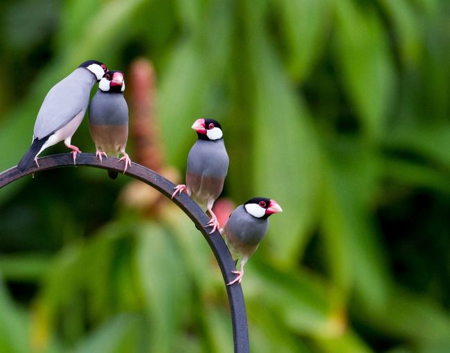 Low angle view of four java sparrow finch perching on metal railing