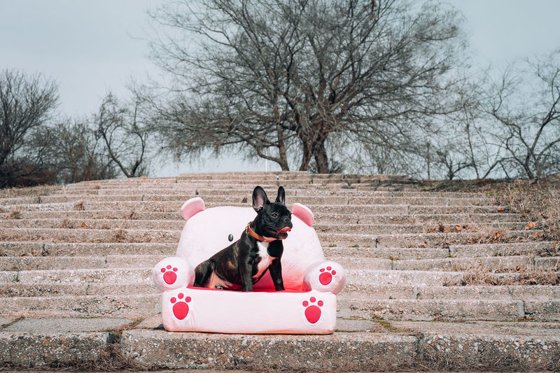 Favourite places. French Bulldog Frenchie Frenchbulldog Couch Pet Animal Themes Animal One Animal Profile View Stairs Trees Pets Winter Dog Bare Tree Tree Cold Temperature Sticking Out Tongue Animal Tongue Pet Collar