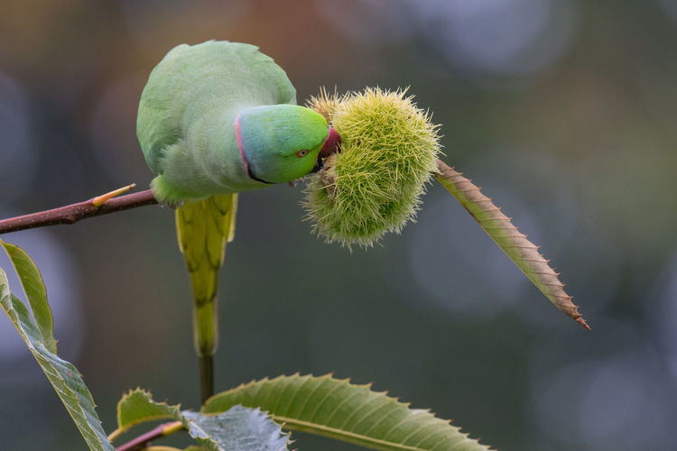Ring-necked Parakeet feeding on chestnut Beauty In Nature Colonizer Foraging On Chestnut Green Color Male Nature Outdoors Psittacula Krameri Ringneck Parakeet Tranquility