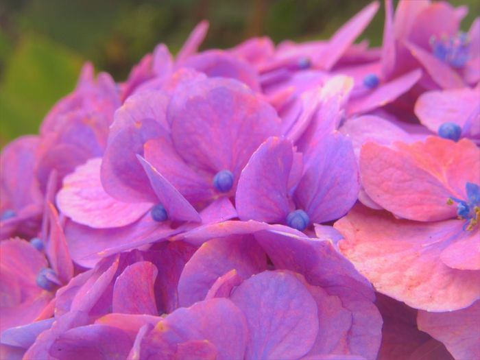 No People Outdoors Flower Petal Plant Close-up Hydrangea Flower Head Growth Nature Pink Color Purple