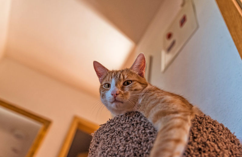 Low angle view portrait of ginger cat at home